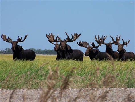 Lookup Saskatchewan Numbers Related Keywords Suggestions For Saskatchewan Moose