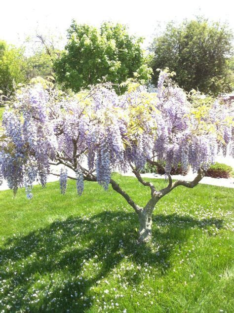 which type of tree smells the best 25 best ideas about lilac tree on lilac