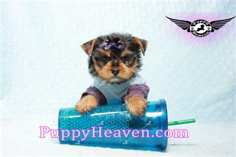 teacup yorkies for sale in las vegas yorkie puppies 20 00 us breeds picture