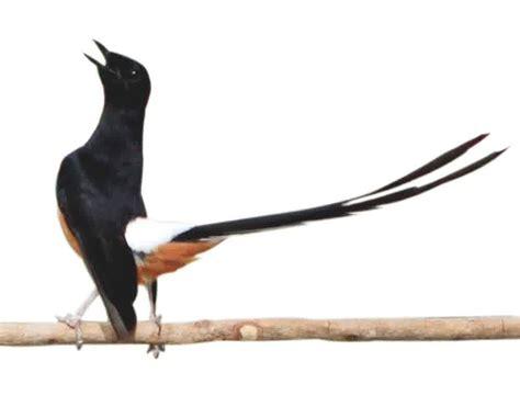 gambar burung murai medan pusat dan gudangnya informasi yang bermanfaat beberapa
