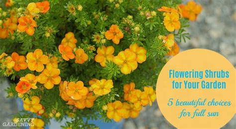 flowering garden shrubs flowering shrubs for your garden 5 for sun