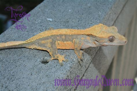 gecko change color color progression how gqr geckos color up as they grow