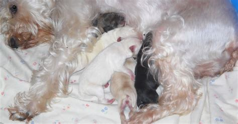 Schnoodle Shedding by Growing Puppies Virginia Schnoodle Breeder Hypoallergenic Dogs Announcing The Birth Of 5