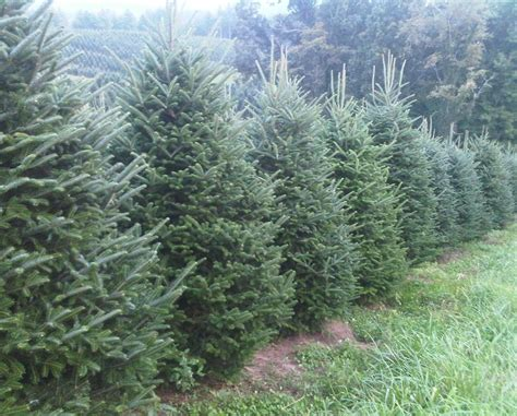 fresh cut balsam or fraser fir christmas tree certifikid