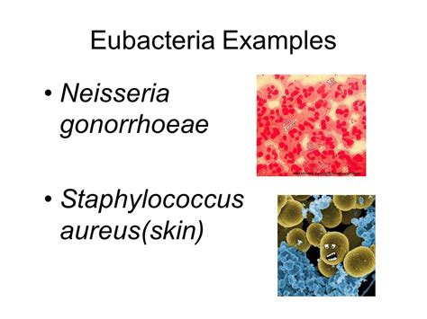 exle of eubacteria domains kingdoms and phyla ppt