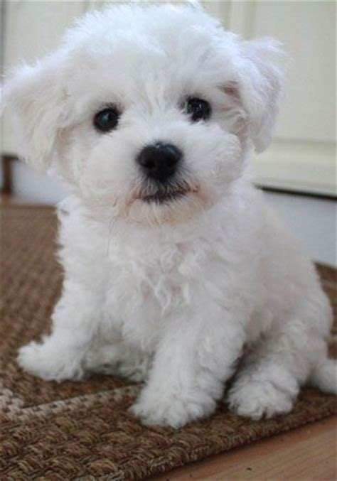 white puppys 25 best ideas about white dogs on shepherd puppies white puppies and