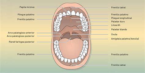 vestibulo oral que es estructura de la cavidad bucal