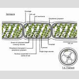 Volvox Life Cycle | 1065 x 847 jpeg 400kB