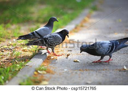 stock image of hungry pigeons eating bread in the street
