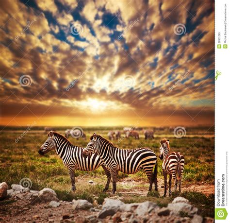 zebras herd  african savanna  sunset royalty