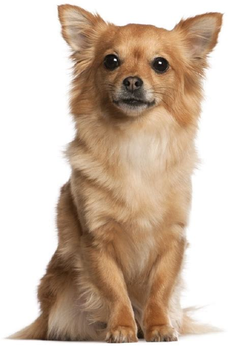 miniature dogs top 10 cutest small breeds top inspired