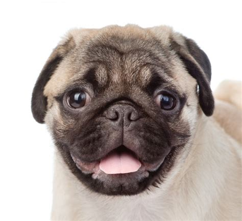 pugs how do they live 8 doggie breeds that live the