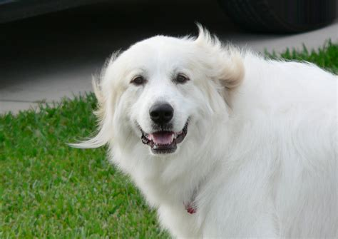 haircuts for great pryneese dogs great pyrenees game google family feud