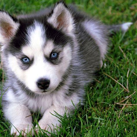 husky puppy adoption pets