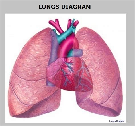 the human lungs diagram human lungs diagram a diagram how do we breathe lungs
