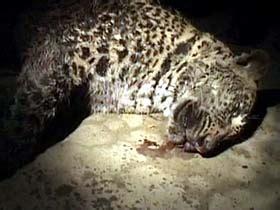 leopard s blood a leopard novel snow leopard killed in cold blood headlines tonight