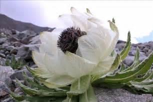 Three Snow Lotus