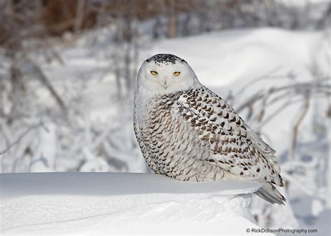 rick dobson bird and nature photography snowy owl