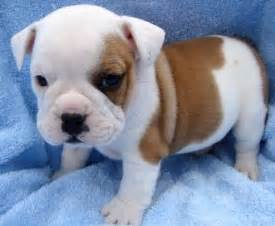 More pics and info on bulldog puppies can be found at miniature