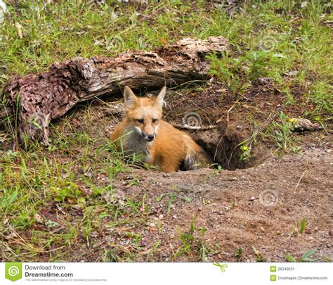 a for all time dragons den fox in den stock image image 26349531