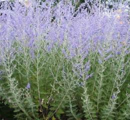 plants for water wise pollinator gardens russian sage