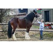Wallpapers Tallest Horse Breed World S