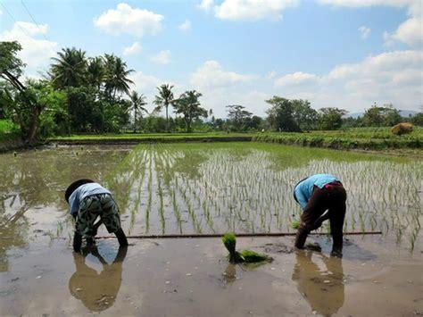 plantadores de arroz uma planta 231 227 o de arroz na indon 233 sia vem por aqui