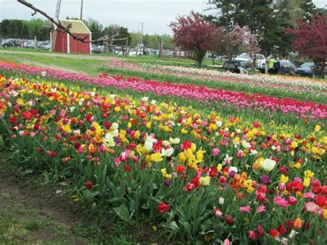 Veldheer Tulip Gardens by Many Beautiful Varieties Picture Of Veldheer Tulip