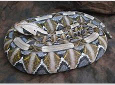 1000+ ideas about Viper Bites on Pinterest | Lip Piercings ... Western Diamondback Rattlesnake Head