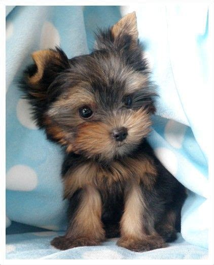 adorable yorkies yorkie quotes quotesgram