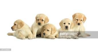 pictures of puppy puppy stock photos and pictures getty images