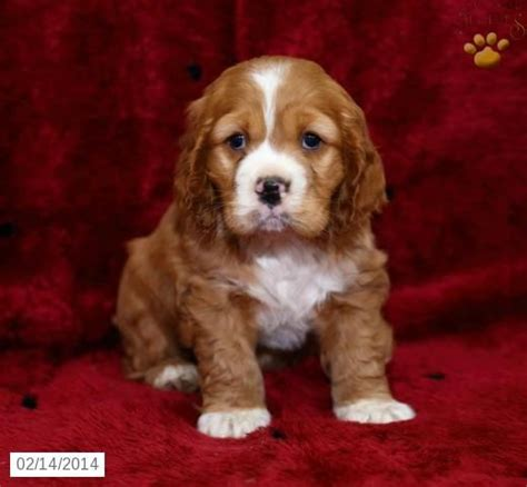 cocker spaniel puppies for sale mn 1000 id 233 es sur le th 232 me cockapoo puppies for sale sur