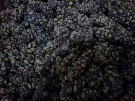 Kopi Luwak Green Bean Mentah Siap Goreng kopi luwak wisata luwak indonesia