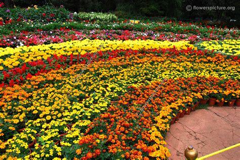 Marigold Flower Garden Ooty Flower Show 2015 Photos Gallery