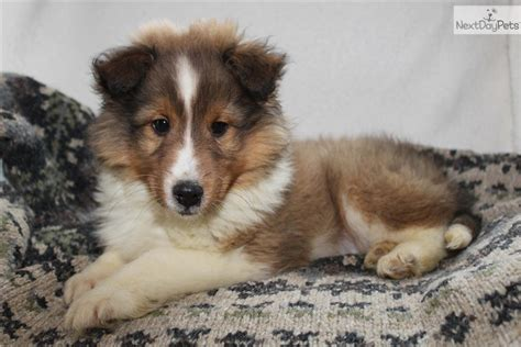 sheltie puppies for sale in nc shetland sheepdog free to home breeds picture