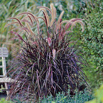 purple fountain grass direct gardening