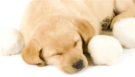 what to get for a new puppy what to expect of a new labrador puppy