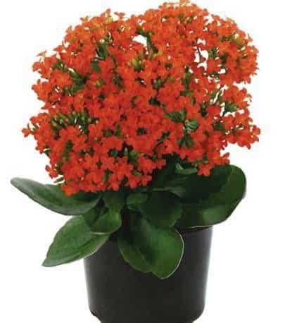 Jual Semai Instan by Jual Bibit Unggul Tanaman Kalanchoe Orange Bibit