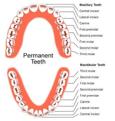 permanent teeth diagram illustration science inspiration the human teeth
