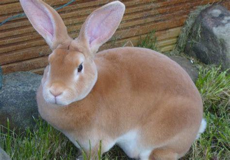 Coklat Kelinci inilah 10 gambar kelinci anggora australia lucu imut