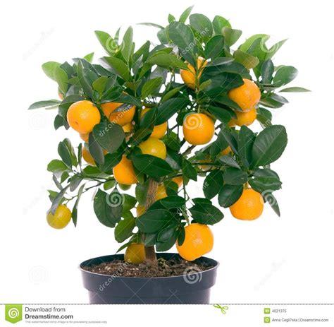 tree with small orange fruit of small citrus tree royalty free stock photo image