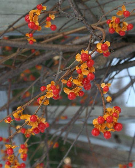 bittersweet my favorite thing on pinterest bittersweet vine vines and berries