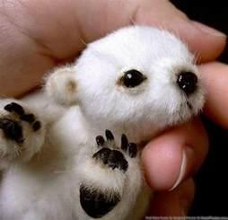 cute white baby panda