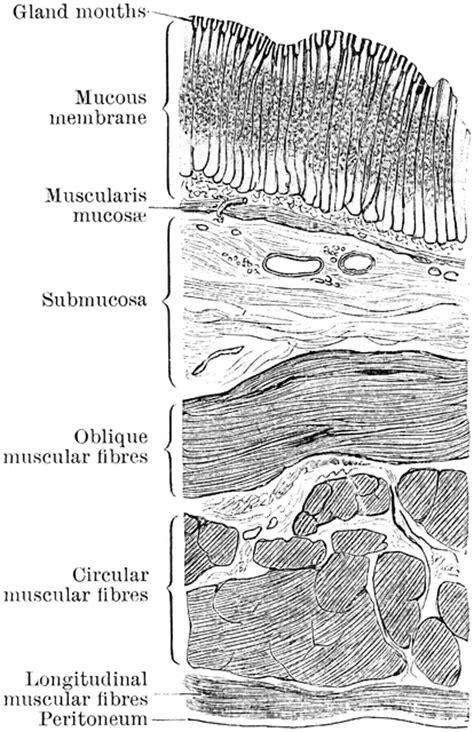 Sections Of Stomach by Section Through Stomach Wall Clipart Etc