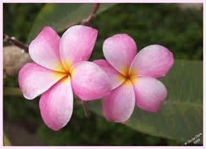 Lei Hawaiian Flowers - gallery for gt hawaiian lay flowers