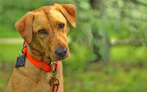is mange in dogs contagious what is mange a complete guide to mange by the labrador site