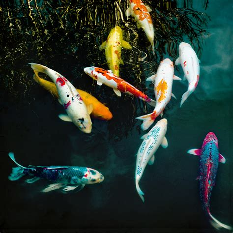 what color are fish at the end of the day meaning of the koi fish it