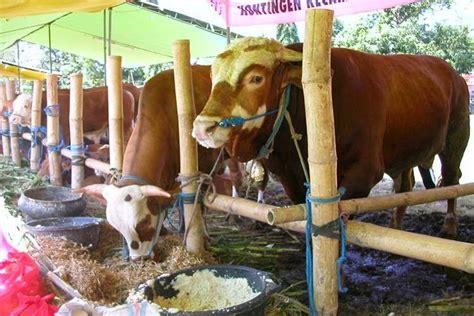 Artikel Membuat Konsentrat Sapi | cara membuat pakan ternak sapi potong yang modern