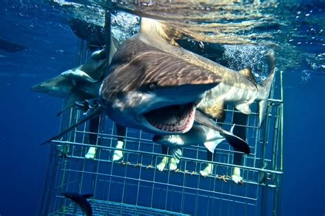 cage dive with sharks shark cage diving ecoaches