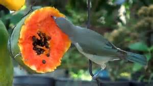 brazilian fauna fruit eating birds tropical fruits